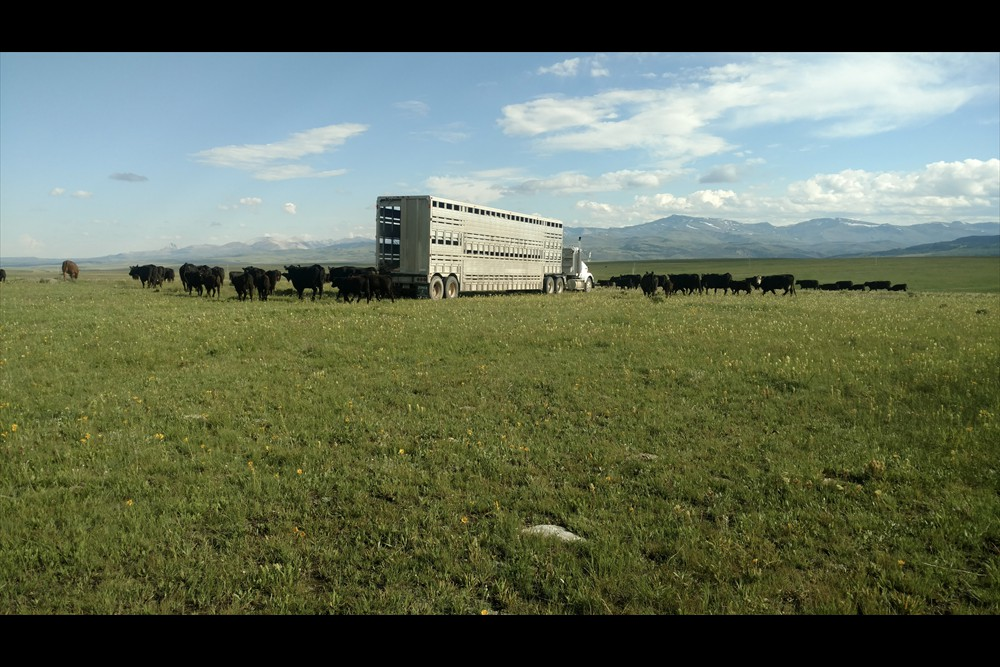 Hauling cows to Summer Pasture