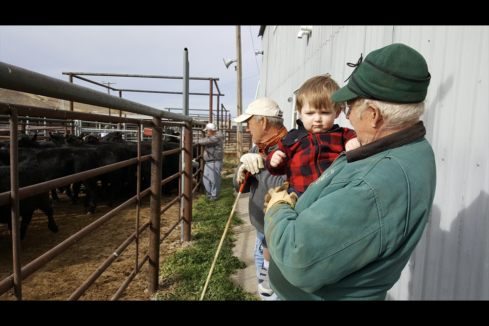 Shipping Calves with Grandpa